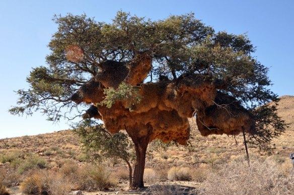 nido-de-pajaros-tejedores-en-Africa.jpg