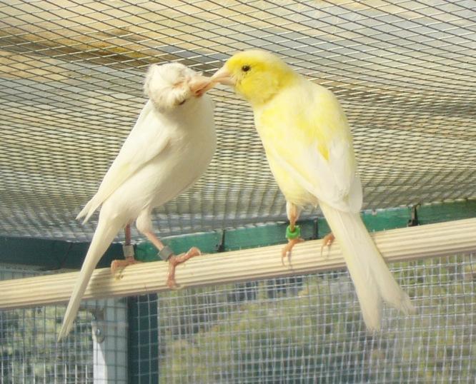 canarios cria reproduccion.JPG